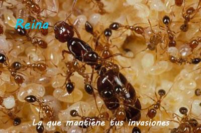 Mejor manera de eliminar hormigas piramicama - Eliminar hormigas cocina ...